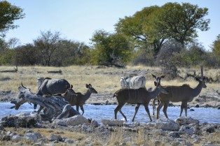 Kudus y Cebras en Etosha