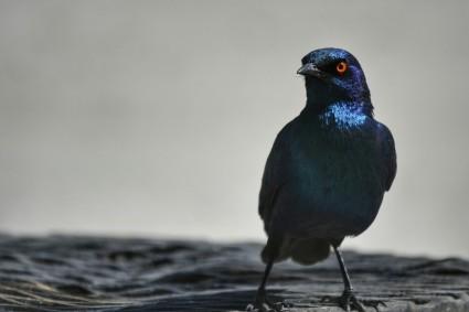 Estornino de El Cabo en Etosha