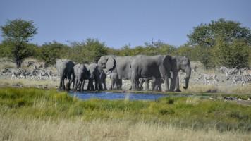 Elefantes en Etosha