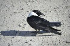 Cuervo Blanco en Etosha