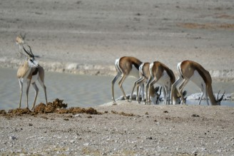 Srpingboks en Etosha