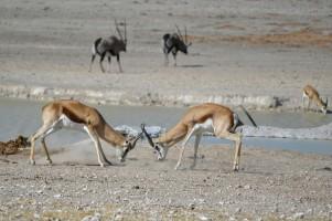 Oryx y Springboks en Etosha