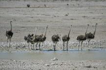 Avestruces en Etosha