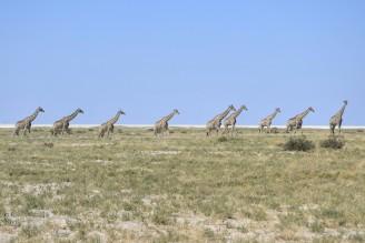 Jirafas en Etosha