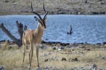 Impala en Etosha