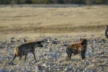 Hienas en Etosha