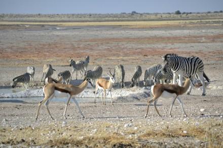 Springboks y Cebras en Etosha