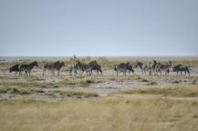 Ñus Azules y Cebras en Etosha