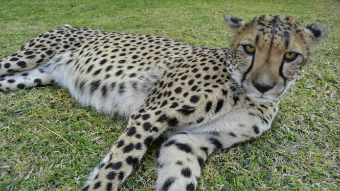 2017-06-namibia-otjitotongwe-cheetah-guest-farm-03-guepardos.jpeg