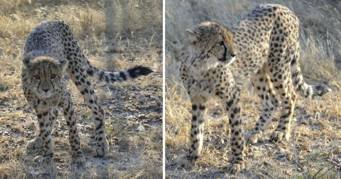 2017-06-namibia-otjitotongwe-cheetah-guest-farm-11-guepardos