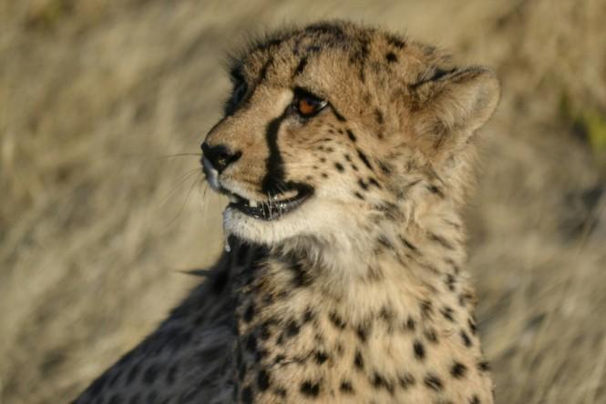2017-06-namibia-otjitotongwe-cheetah-guest-farm-15-guepardos