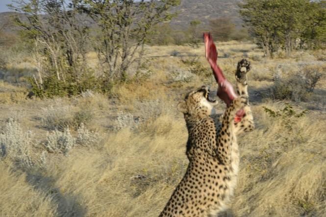 2017-06-namibia-otjitotongwe-cheetah-guest-farm-18-guepardos