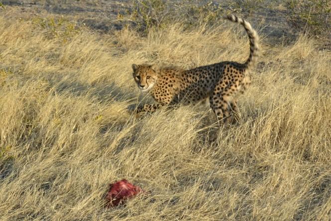 2017-06-namibia-otjitotongwe-cheetah-guest-farm-20-guepardos