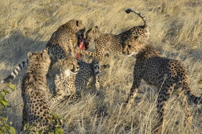 2017-06-namibia-otjitotongwe-cheetah-guest-farm-22-guepardos