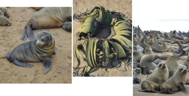 2017-06-namibia-swakopmund-cape-cross-welwitschia-mirabilis-mix