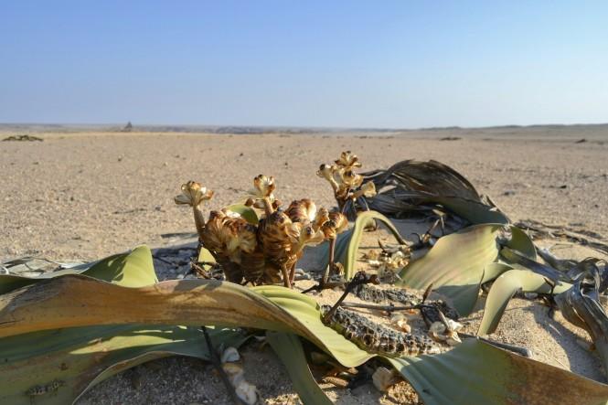 2017-06-namibia-swakopmund-welwitschia-plains-beacon-11-welwitschia-mirabilis-2.jpeg