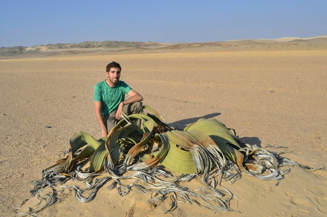 2017-06-namibia-swakopmund-welwitschia-plains-beacon-11-welwitschia-mirabilis-3