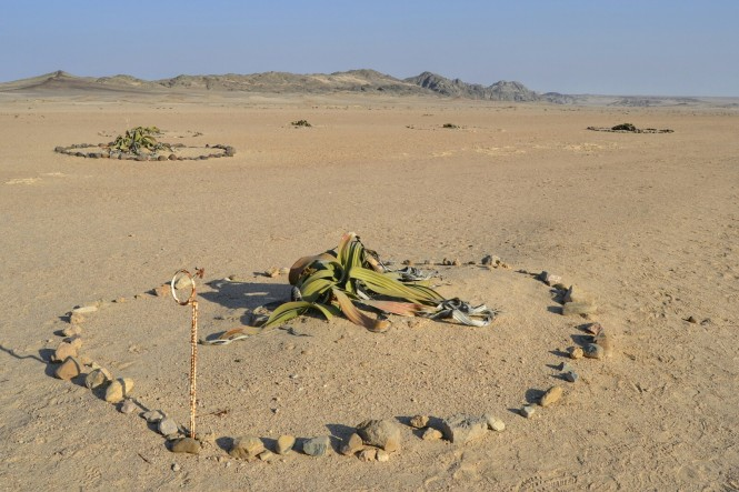 2017-06-namibia-swakopmund-welwitschia-plains-beacon-11-welwitschia-mirabilis-5