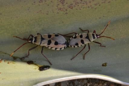Chinches de la Welwitschia en Swakopmund