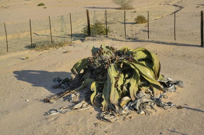 2017-06-namibia-swakopmund-welwitschia-plains-beacon-12-welwitschia-mirabilis-1500