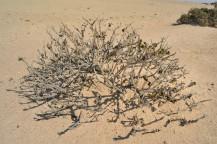 Welwitschia Plains
