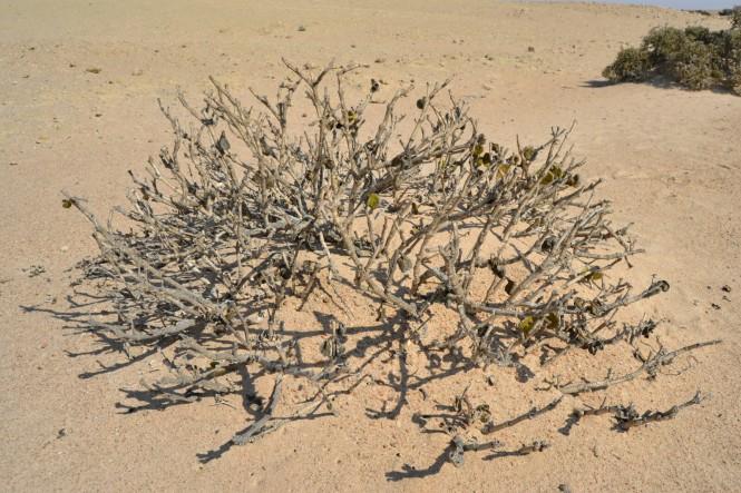 2017-06-namibia-swakopmund-welwitschia-plains-beacon-2-dollar-bush-1