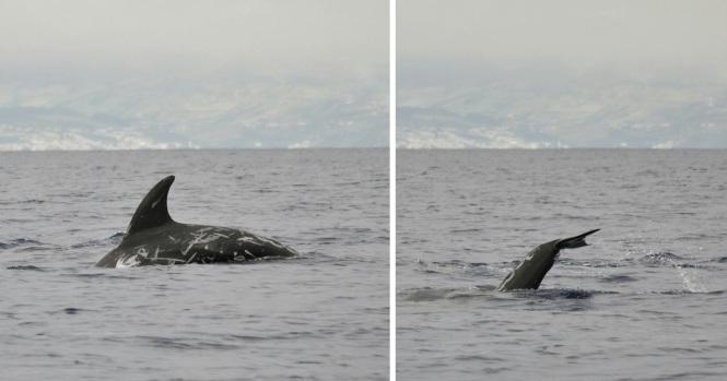 2017-07-azores-pico-viaje-barco-19-delfin.jpeg