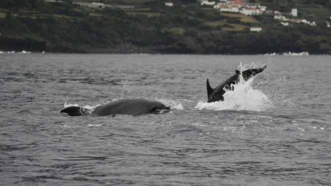 2017-07-azores-pico-viaje-barco-22-delfin