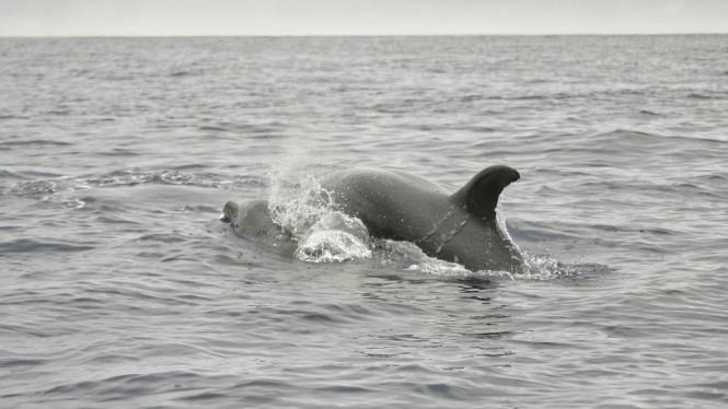 2017-07-azores-pico-viaje-barco-23-delfin