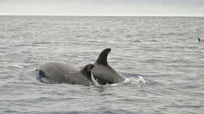 2017-07-azores-pico-viaje-barco-24-delfin.jpeg