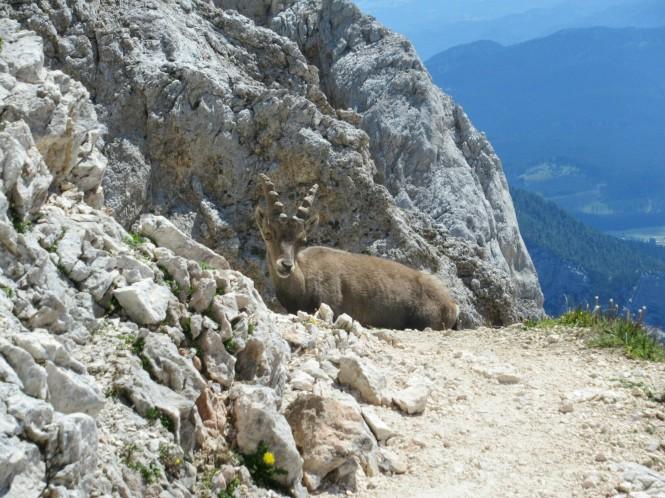 2018-07-eslovenia-alpes-julianos-triglav-etapa-3-18-hacia-Dom-Valentina-Stanica-Pod-Triglavom-cabra.jpeg
