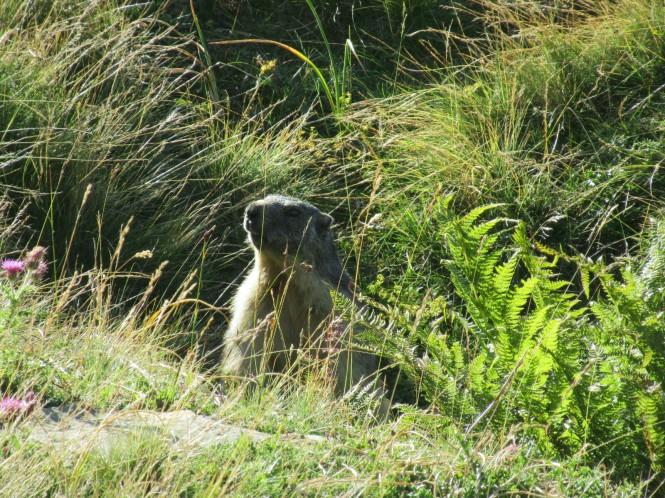 2018-08-golondrinas-dia-2-11-ascenso-collado-petretxema-marmota.jpeg