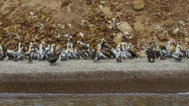 2019-08-peru-tour-islas-ballestas-08-pelicanos-peruanos.jpeg