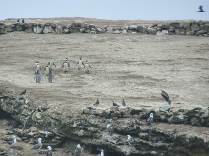 2019-08-peru-tour-islas-ballestas-18-pinguinos-humboldt.jpeg