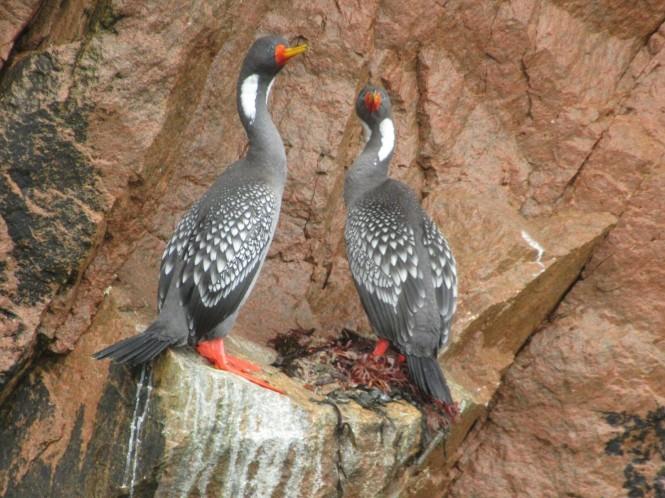2019-08-peru-tour-islas-ballestas-19-cormoran-patas-rojas.jpeg