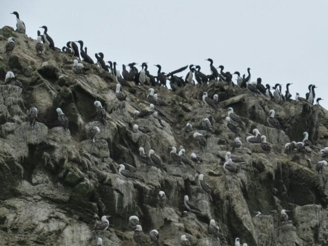 2019-08-peru-tour-islas-ballestas-25-piquero-peruano.jpeg