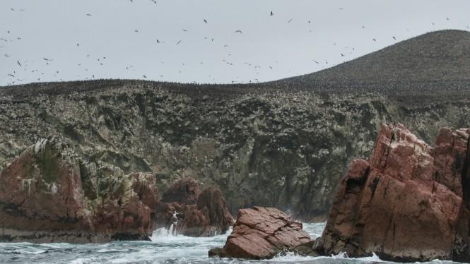 2019-08-peru-tour-islas-ballestas-26-piquero-peruano-y-guanero.jpeg