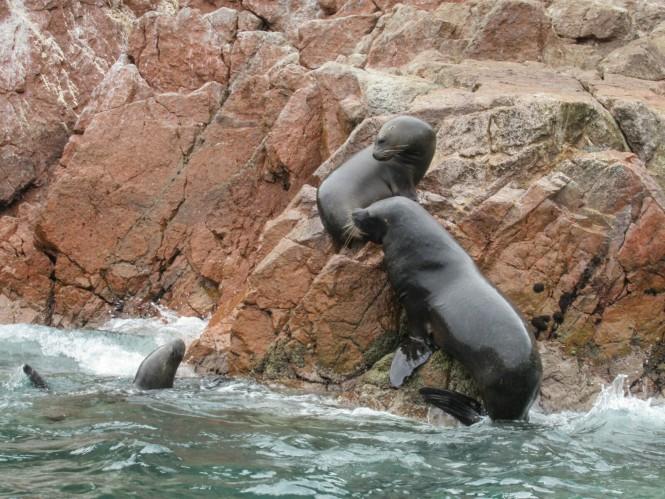 2019-08-peru-tour-islas-ballestas-29-lobos-marinos