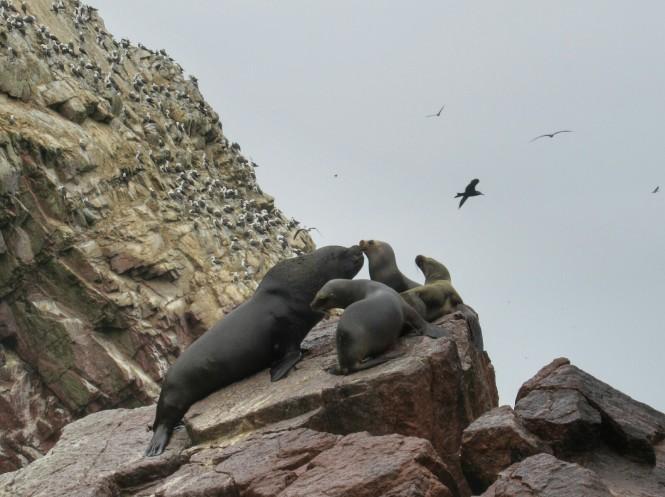 2019-08-peru-tour-islas-ballestas-30-lobos-marinos