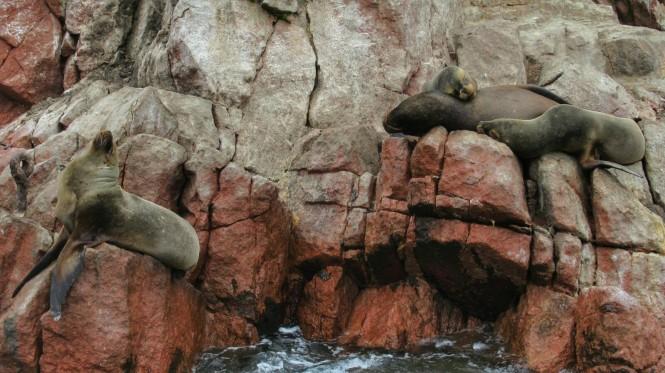 2019-08-peru-tour-islas-ballestas-31-lobos-marinos.jpeg