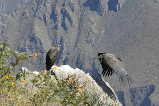 2019-09-colca-cruz-del-condor-13-mirador-principal-condores