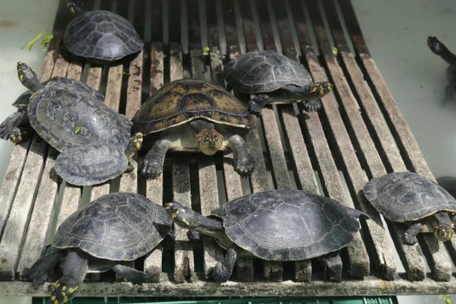 2019-09-iquitos-crea-13-tortugas