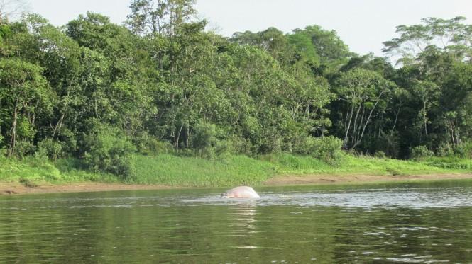 2019-09-iquitos-pacaya-samiria-08-delfines-rosados