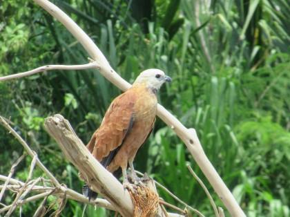 2019-09-iquitos-pacaya-samiria-10-rio-maranon-aves