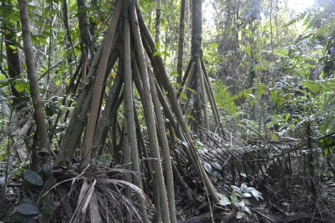 2019-09-iquitos-pacaya-samiria-32-paseo-jungla