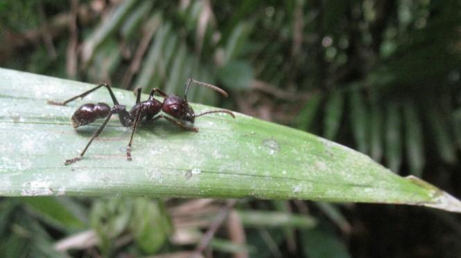 2019-09-iquitos-pacaya-samiria-37-paseo-jungla-hormiga-gigante.jpeg