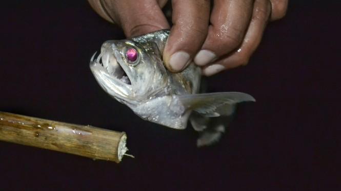 2019-09-iquitos-pacaya-samiria-42-pesca-nocturna-pez-dracula