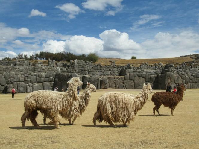 2019-09-peru-cusco-ruinas-saqsaywaman-17-alpacas.jpeg